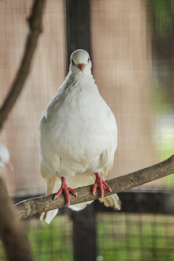 La paloma de la cola de milano es raza popular de la paloma de lujo Las colas de milano son de uso frecuente por los aviadores de imagen de archivo