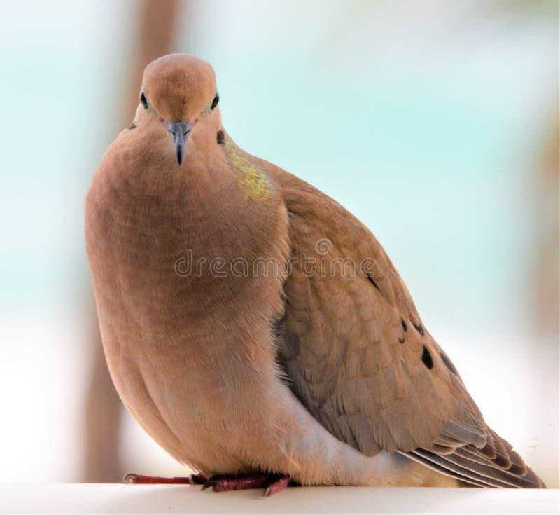 La paloma de luto es un pájaro hermoso con los ojos conmovedores y confiar en comportamiento fotos de archivo