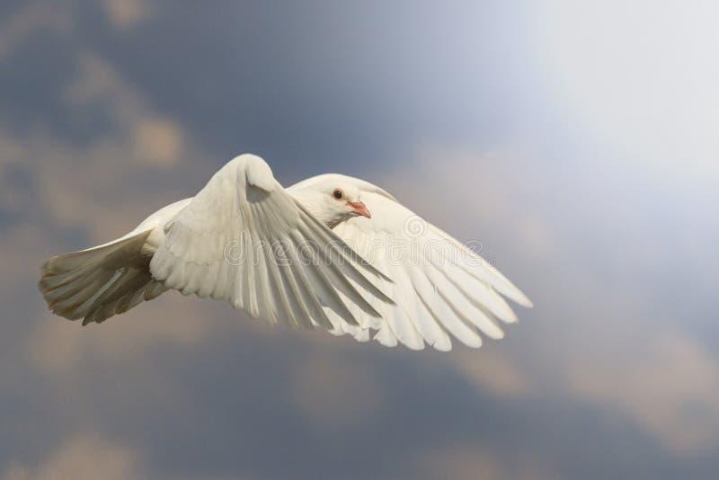 La paloma del blanco vuela con el viento con apuroses soleados imagen de archivo libre de regalías