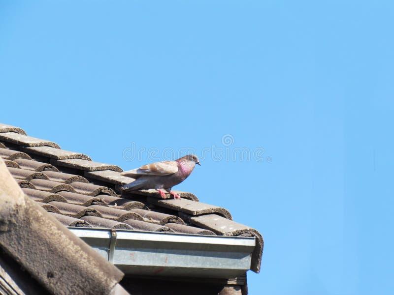 La paloma del pájaro que camina en el tejado con el cielo azul foto de archivo
