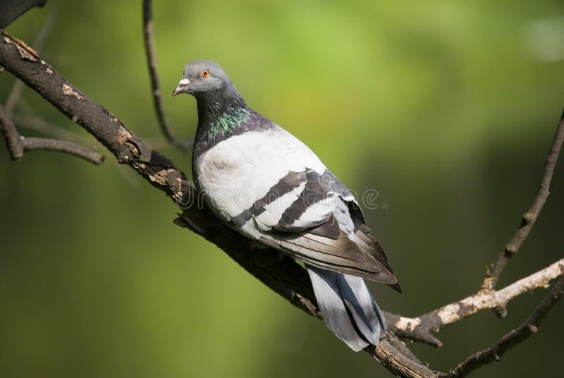 La paloma en verano fotos de archivo