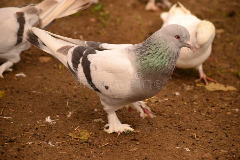 La paloma es un apego adictivo a la gente imagen de archivo libre de regalías