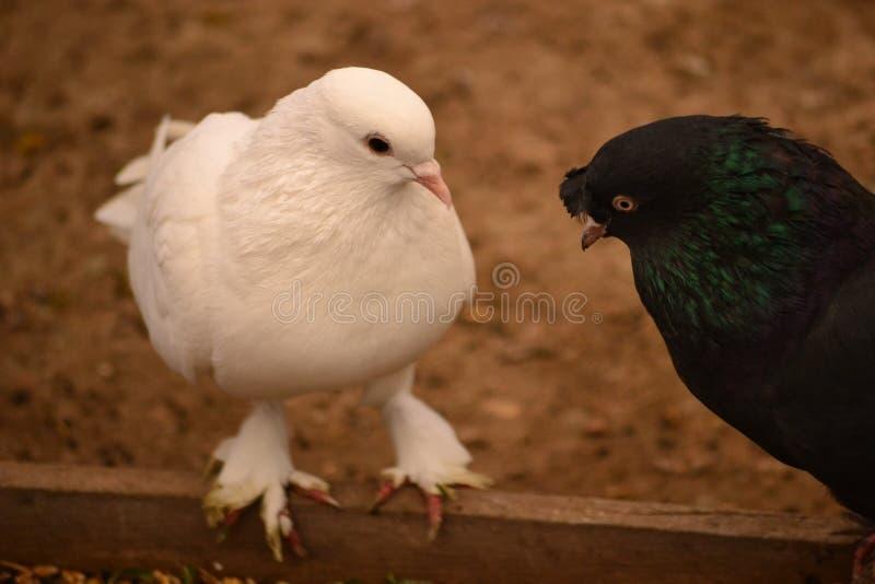 La paloma es un apego adictivo a la gente fotos de archivo libres de regalías