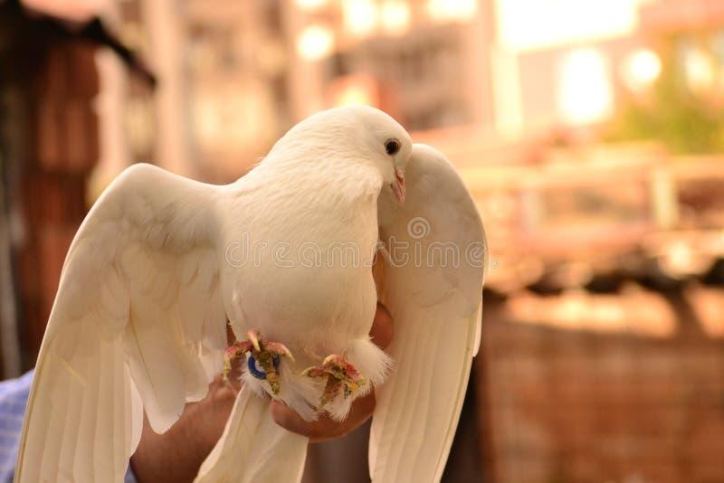 La paloma es un apego adictivo a la gente imagen de archivo