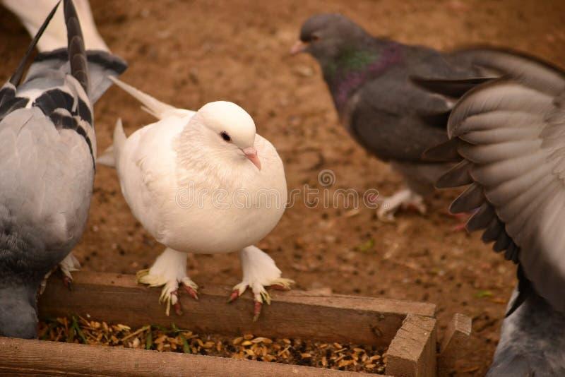 La paloma es un apego adictivo a la gente imágenes de archivo libres de regalías