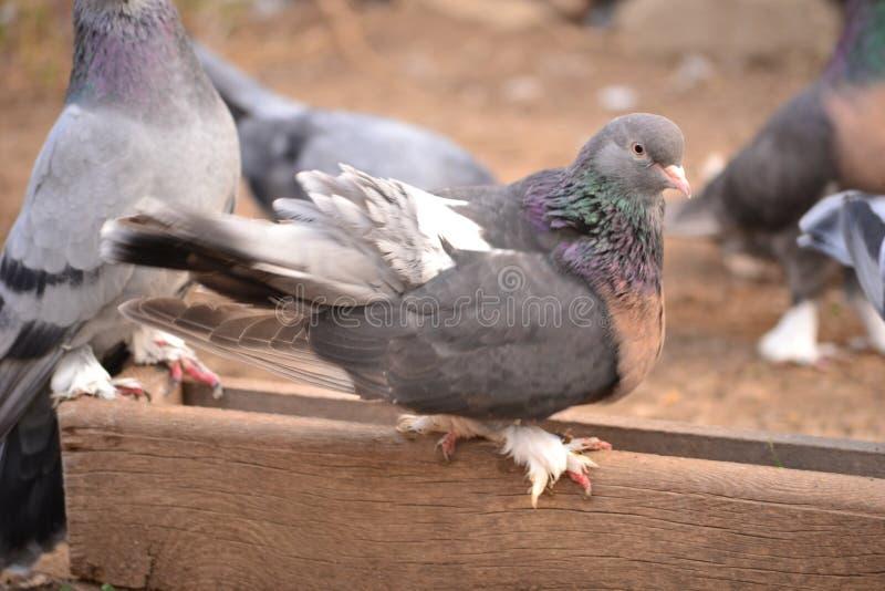 La paloma es un apego adictivo a la gente fotografía de archivo