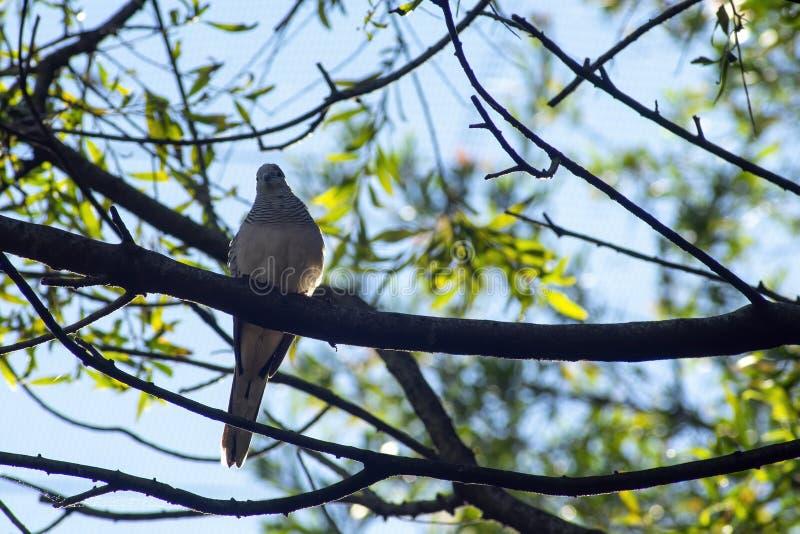 La paloma pacífica vista desde abajo, Sydney, Australia imagenes de archivo