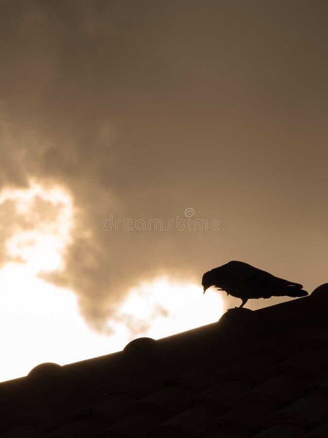 La paloma que camina en el tejado imagen de archivo