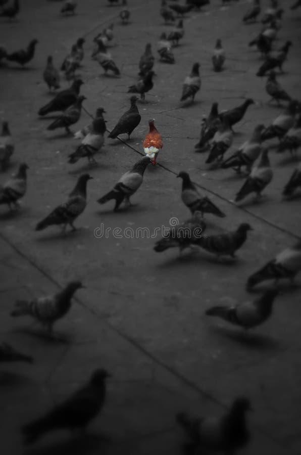 La paloma roja imagen de archivo