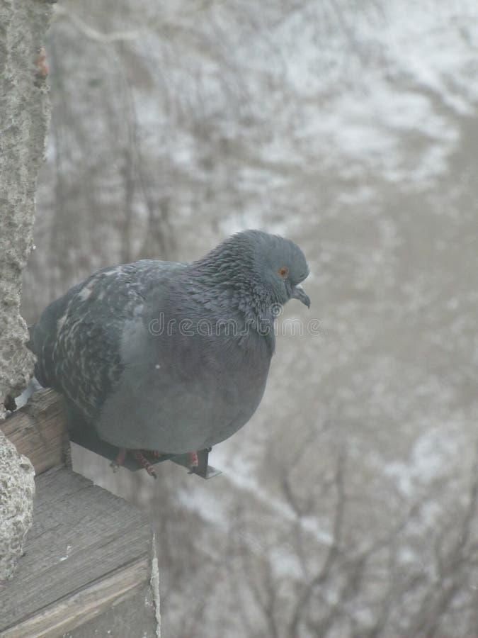 La paloma sentó caliente en una mañana del invierno fotos de archivo