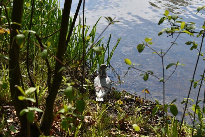 La paloma tiene siesta en la orilla de la charca foto de archivo