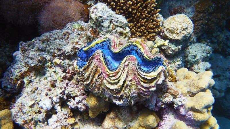 La palourde de maximum, espèce marine photographie stock