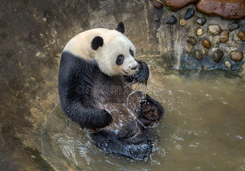 La panda está jugando el agua foto de archivo libre de regalías