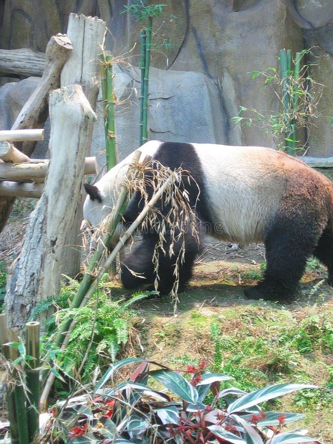 La panda gigante masculina él tiene una cara muy mullida y él es muy juguetón imagen de archivo