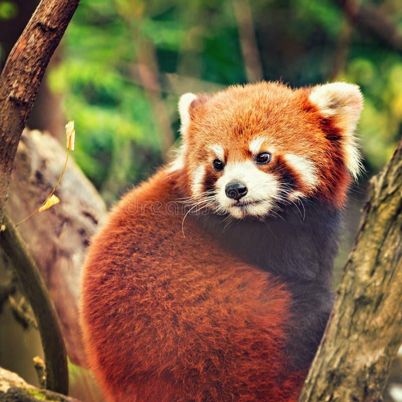 La panda roja se sienta en el árbol imagen de archivo libre de regalías