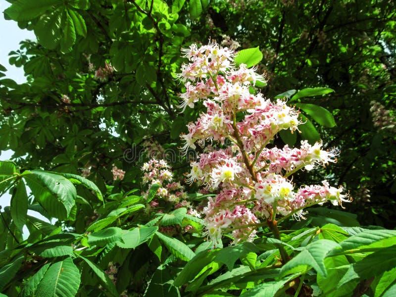 La pannocchia eretta della castagna d'India con i fiori bianchi rosa su un fondo di fogliame verde fotografie stock libere da diritti