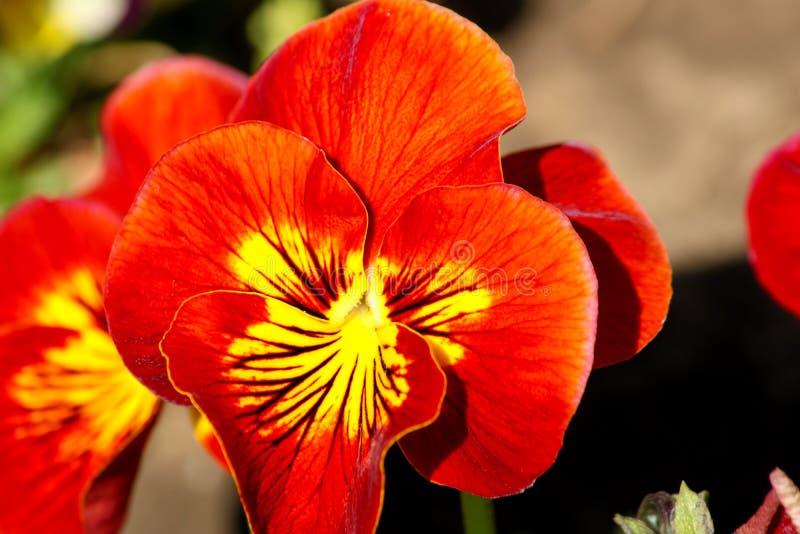 La pansé è un fiore stupefacente e la sua combinazione di colore è grande Viola varietà tricolore hortensis Viola Wittrockianna P fotografie stock libere da diritti