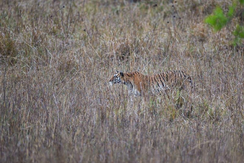 La panthera femminile incinta il Tigri della tigre stava inseguendo una preda in pellame di erba lunga e cammuffa il suo corpo al fotografia stock libera da diritti