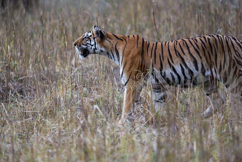 La panthera femminile incinta il Tigri della tigre stava inseguendo una preda in pellame di erba lunga e cammuffa il suo corpo al fotografie stock