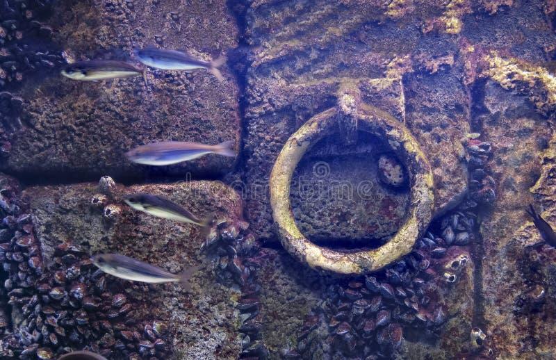 La pared púrpura inundada fondo subacuático de la piedra vieja del muelle del ancla pesca los moluscos atados imágenes de archivo libres de regalías