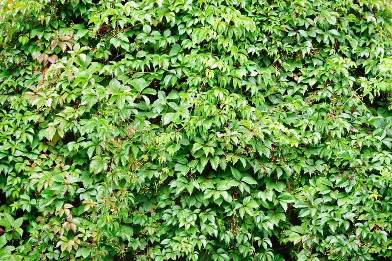 La pared se cubre con el follaje decorativo de las uvas en el jardín foto de archivo
