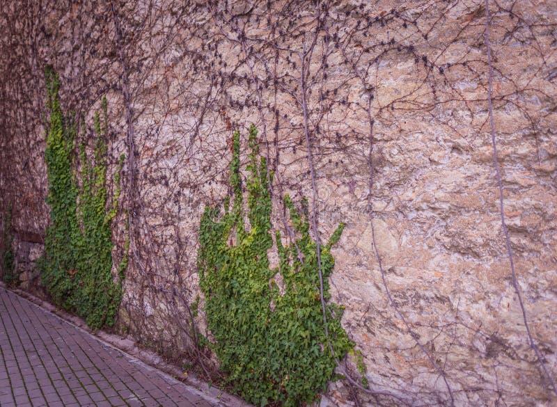La pared vieja de piedras con un verde se va en ella fotografía de archivo libre de regalías