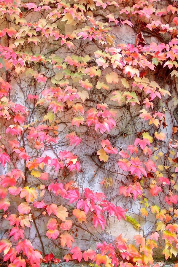La parete è invasa con le foglie luminose dell'uva di ragazza nei colori di autunno immagine stock