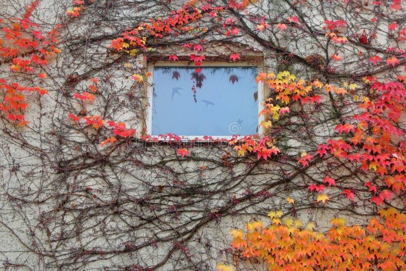 La parete della casa con una finestra invasa con l'uva di ragazza di cui le foglie sono nei colori di autunno immagine stock libera da diritti