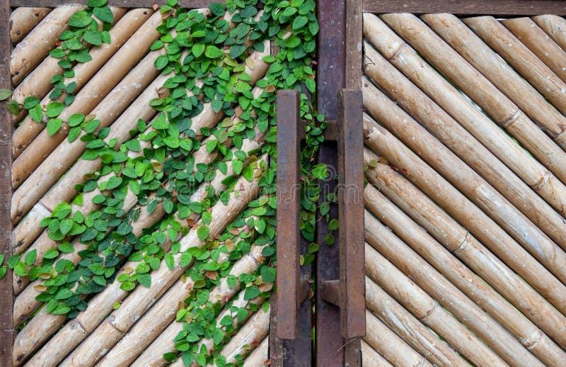 La parete di bambù asciutta gialla naturale, portone per fondo, con un convolvolo va fotografie stock