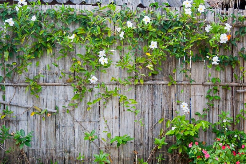 La parete di bambù con la pianta di fioritura dello scalatore fotografie stock