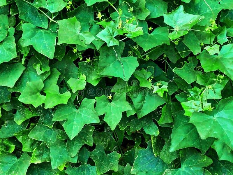 La parete di Ivy Gourd immagini stock