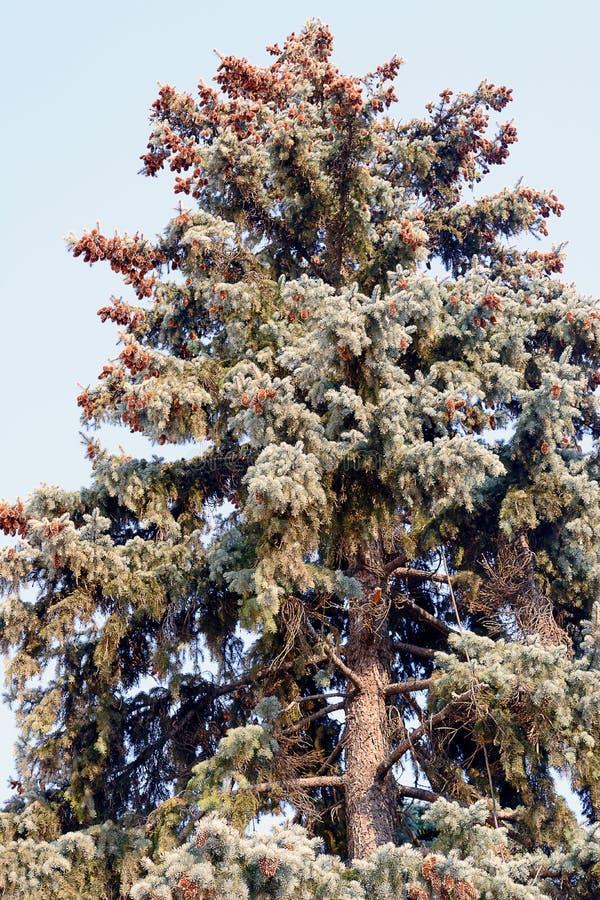 La parte del árbol conífero a la derecha de la imagen contra el cielo azul con las nubes blancas, las ramas spruce es cubierta fotografía de archivo