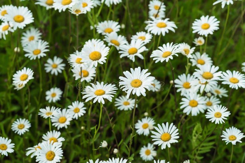 La parte del primo piano di bei daisys selvaggi fiorisce nel vento Giorno di estate dopo pioggia Concetto delle stagioni, ecologi immagini stock libere da diritti