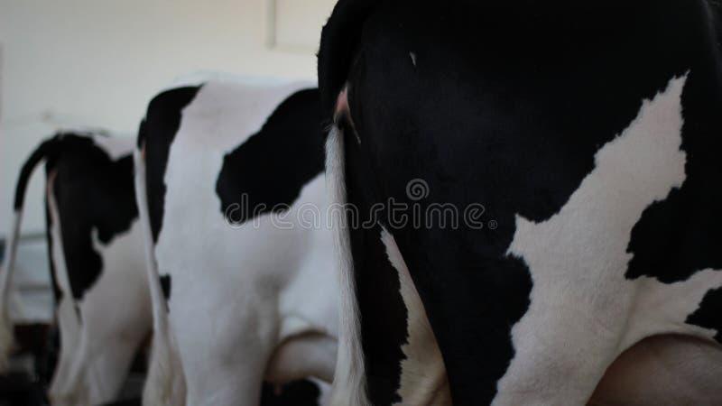 La parte posterior de una vista lateral de las vacas blancos y negros foto de archivo