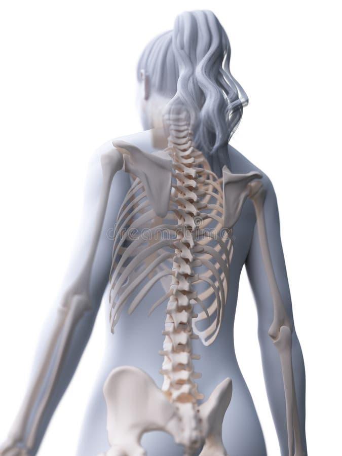 La parte posterior esquelética de una mujer ilustración del vector