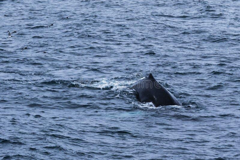 La parte posteriore di una balena fotografia stock