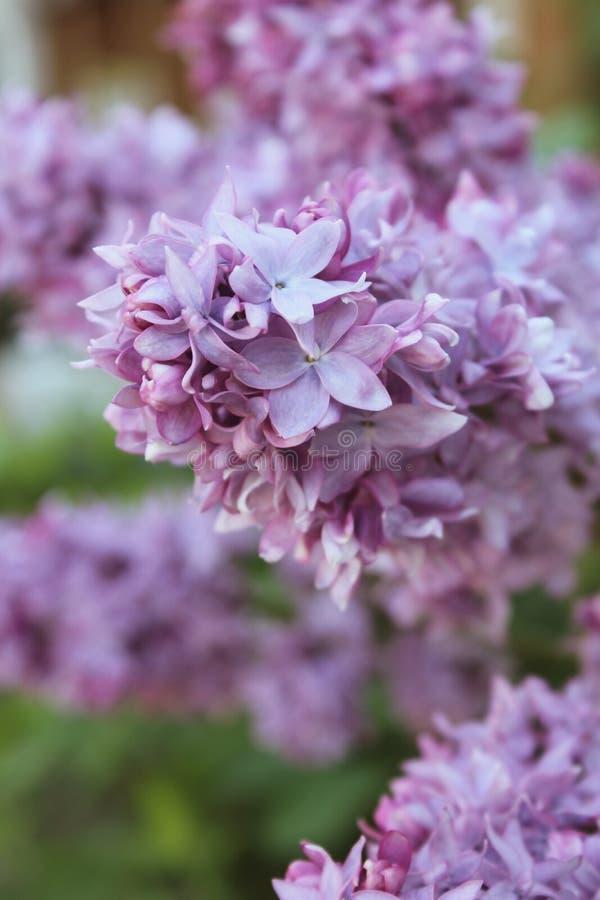 La parte superiore del ramo di fioritura di Syriga lilla in primo piano naturale di circostanze fotografia stock libera da diritti