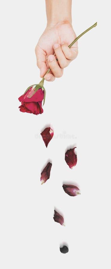 La participation de main s'est fanée fleur rose de soufflement, concept abstrait d'amour photographie stock