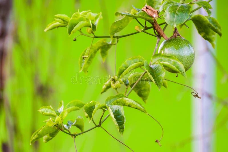 La pasionaria roja de varias frutas de la pasión edulis está colgando en una planta Se come la fruta o juiced, el jugo añadió a m imágenes de archivo libres de regalías