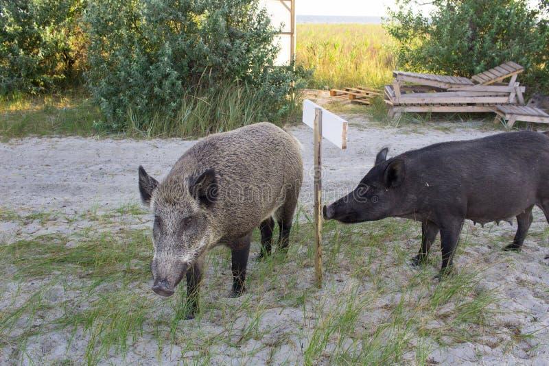 La passeggiata selvaggia della famiglia dei maiali sulle sabbie della spiaggia del mare, ha letto il segno fotografia stock libera da diritti