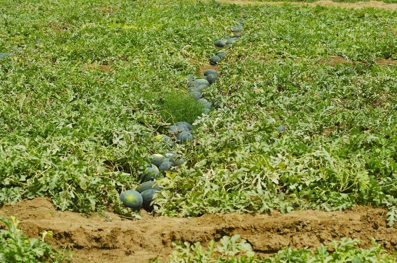 La pastèque cultive, citrullus lanatus, sanctuaire sauvage de la vie de Nagzira, Bhandara, près de Nagpur, maharashtra photo libre de droits