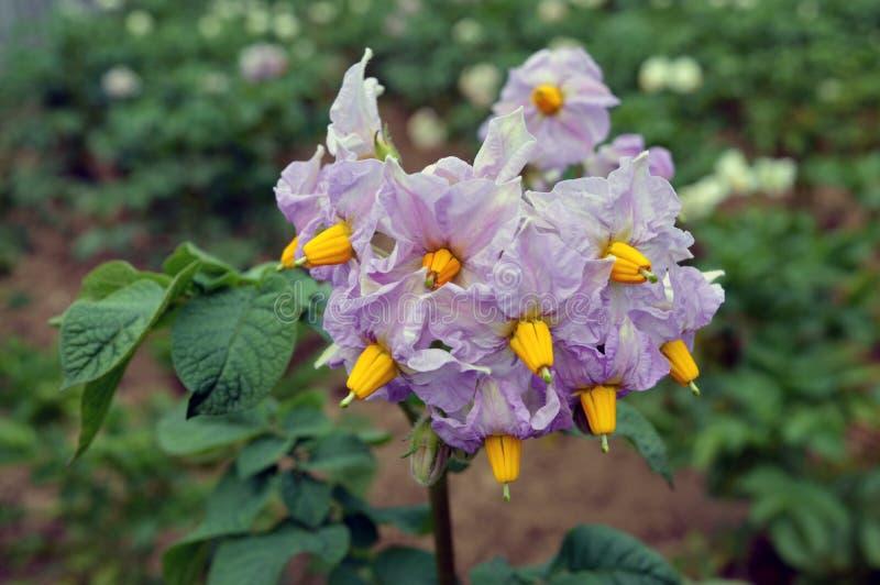 La patata floreciente coloca en el mes del verano de julio foto de archivo libre de regalías