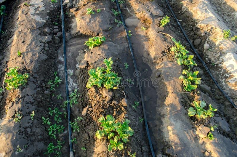 La patata joven crece en el campo e irrigado con la irrigaci?n por goteo Verduras org?nicas crecientes Agricultura farming Granja fotos de archivo