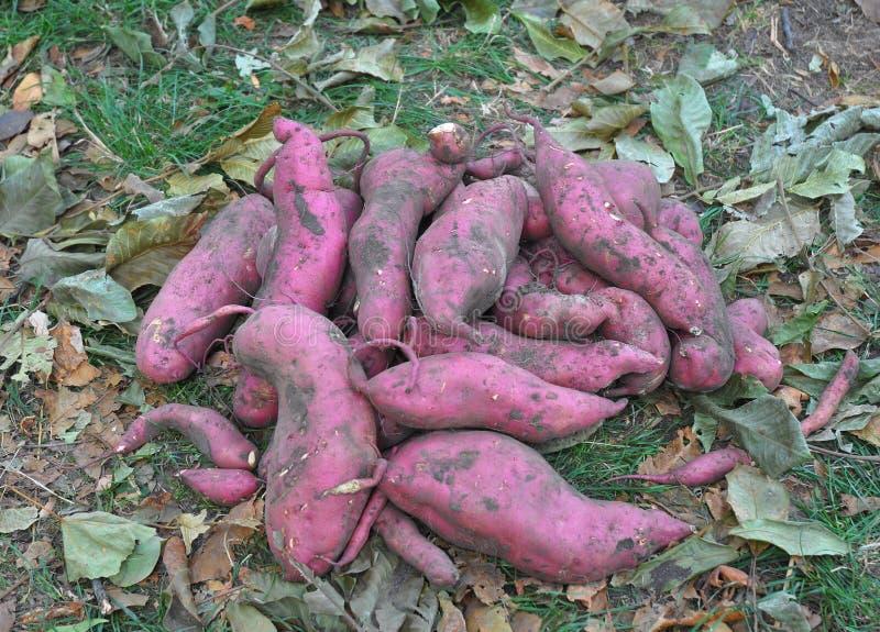 La patate douce ou la récolte d'ipomoea batatas de kumara image stock