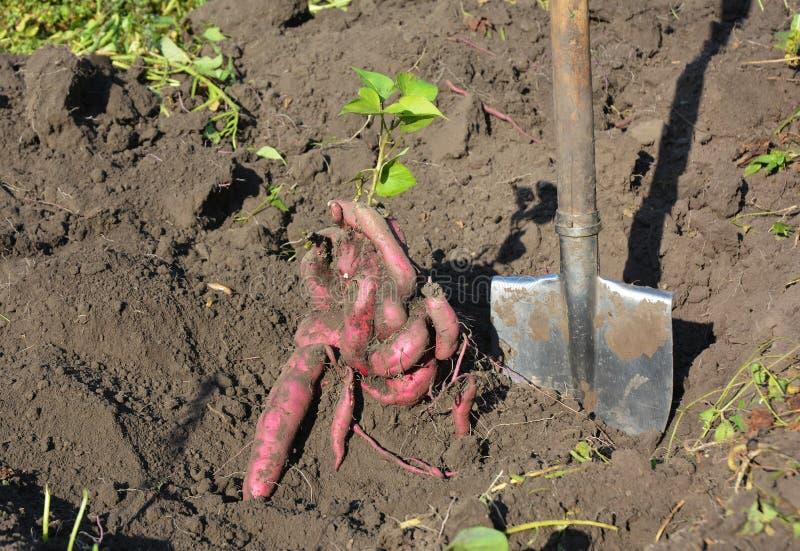 La patate douce ou la récolte d'ipomoea batatas de kumara la patate douce moissonnant avec la pelle photos libres de droits