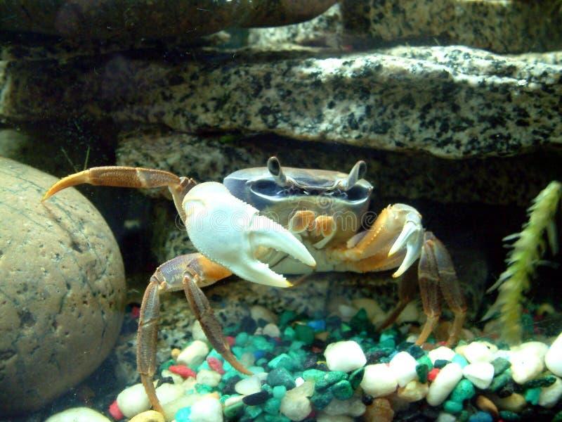La patte de crabe africaine de lune images stock