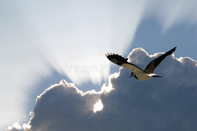 La pavoncella nordica sta volando al sud