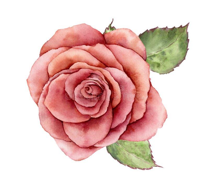 La paz de la acuarela subió Flor pintada a mano del vintage con las hojas aisladas en el fondo blanco Ejemplo botánico para stock de ilustración
