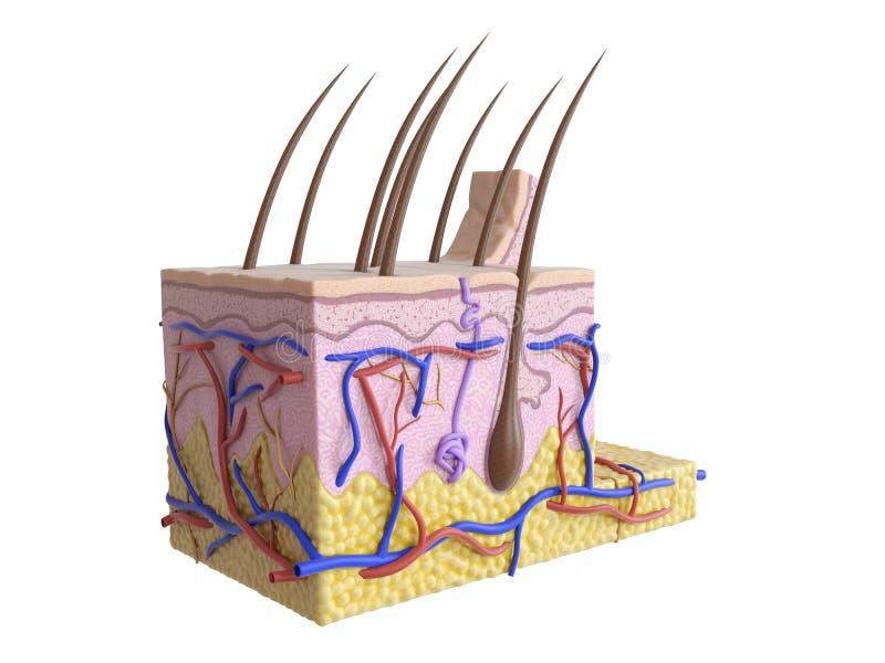 La peau humaine illustration stock