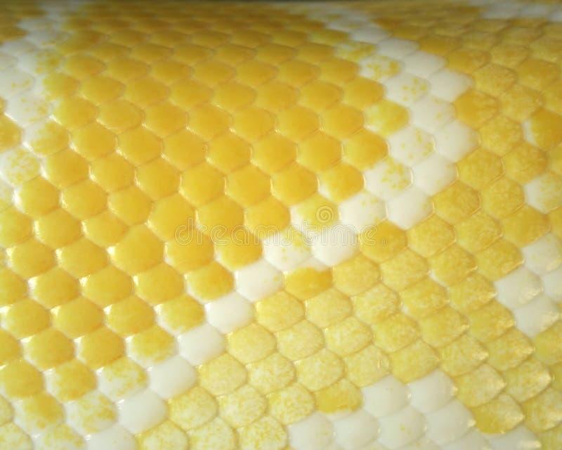 La pelle del boa è colore marrone dorato. fotografia stock